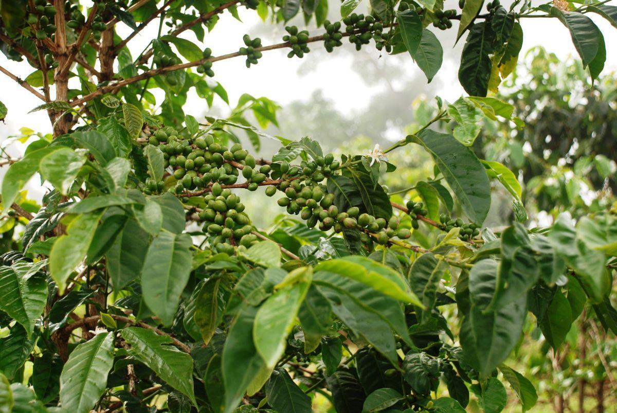 KÁVA CARRARO - Pěstování kávy