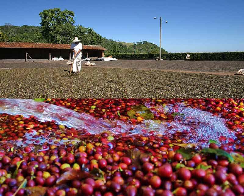 KÁVA CARRARO - Extrakce semen